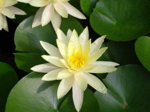 lotus-flower01-1383330